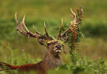jelen-rosliny-rogi